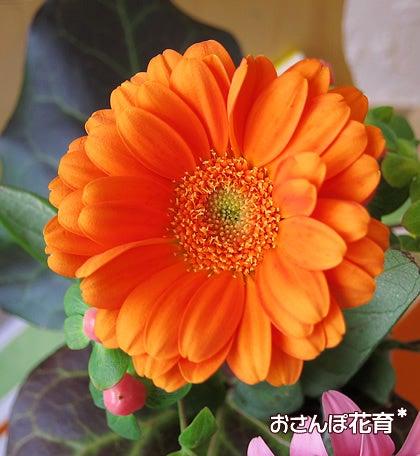 動画で見る!3分フラワーアレンジ-少し咲き進んだガーベラ