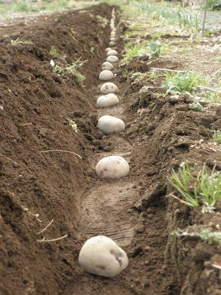 無肥料野菜の話-ジャガイモ