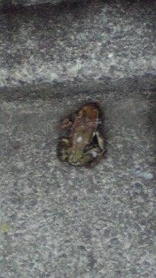 居候マスオ日記-蛙