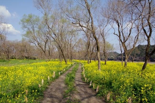 四国高知のうどん屋いろりや9640ブログ~黒潮町LOVEな毎日をお届け~-菜の花