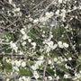 梅の開花情報②