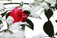 「ぎゃらりーたちばな」更新日記-雪と山茶花