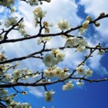 安八百梅園-大空と梅