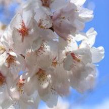 桜茶会(-^□^-)