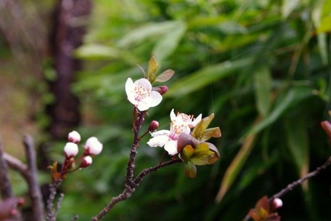 四国高知のうどん屋いろりや9640ブログ~黒潮町LOVEな毎日をお届け~-桜