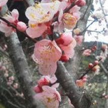 梅の花~春~