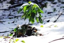 「ぎゃらりーたちばな」更新日記-雪どけの森の中