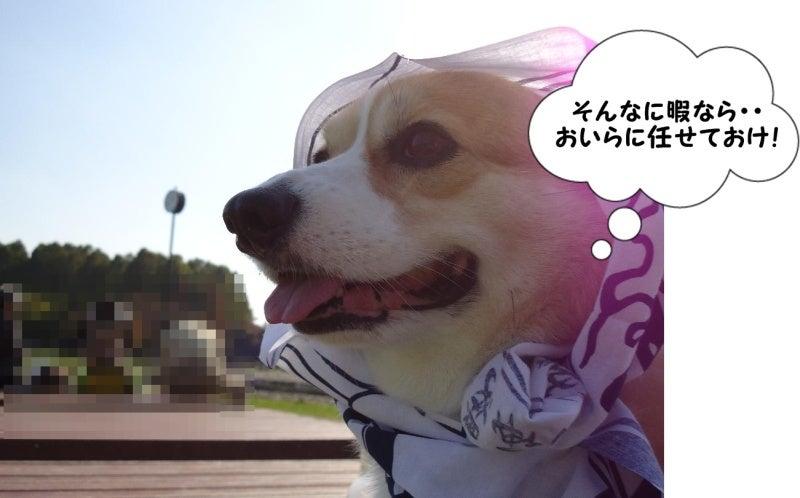 コギ犬~もこ日和~ 443牧場より-443牧場