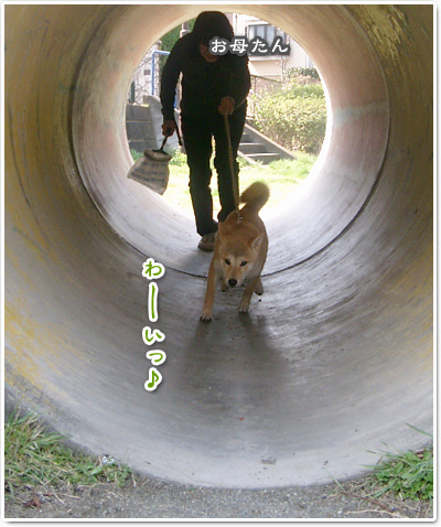 あたち柴犬 抹茶だヨ!  - 伊賀忍者柴犬の道 --090325_p9柴犬抹茶の避妊手術4