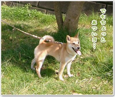 あたち柴犬 抹茶だヨ!  - 伊賀忍者柴犬の道 --090325_p6柴犬抹茶の避妊手術4