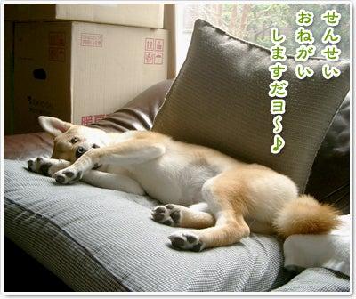 あたち柴犬 抹茶だヨ!  - 伊賀忍者柴犬の道 --090325_p7柴犬抹茶の避妊手術4