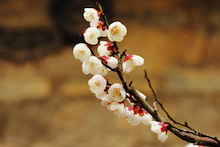 「ぎゃらりーたちばな」更新日記-京都本龍寺の梅