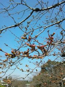 懐古庵・女将のブログ-インクライン桜