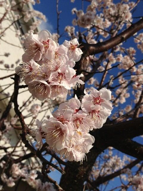 名古屋 粘土×植物で癒す ココ・カラ美活 クレイセラピー&フィトセラピー-梅の花@フィトセラピー 名古屋 高木すみれ