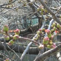 今の目黒川の桜は…