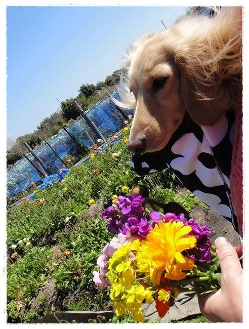 旅犬Lani&Leaのほほん風船記-お花摘み