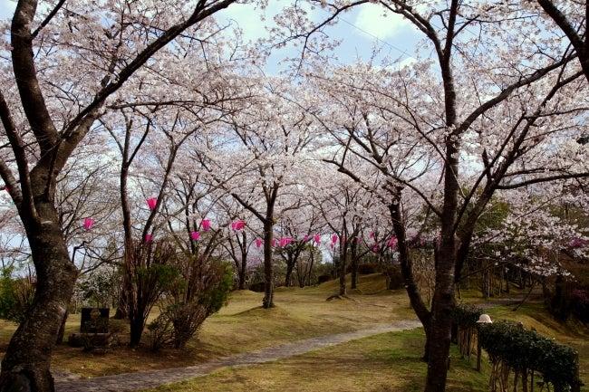 四国高知のうどん屋いろりや9640ブログ~黒潮町LOVEな毎日をお届け~-為松公園の桜