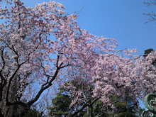 $グリ-ンスタジオ造園部のブログ-枝垂れ桜