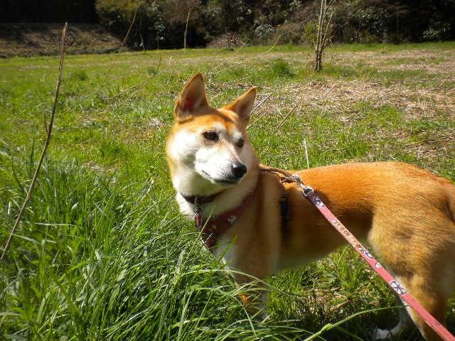 柴ミックス犬ゴン★花と楽しい毎日