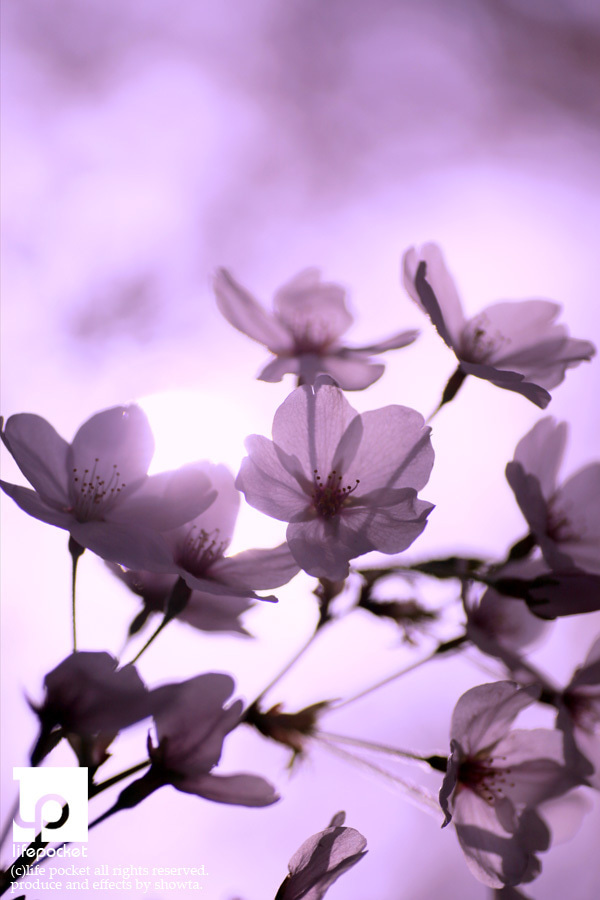 $SHOWTA blog - life pocket-桜