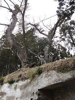 晴れのち曇り時々Ameブロ-夫婦欅(瑞巌寺)