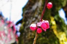 「ぎゃらりーたちばな」更新日記-金沢市保存樹の梅咲く