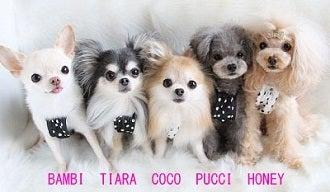 *:..。o☆モデル犬★Coco&Tiara&Bambi+Pucci&Honey~チワワ&T・プードルと一緒にオシャレ&癒しLife~☆゚・:,。*