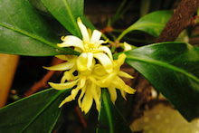 「ぎゃらりーたちばな」更新日記-生け垣の花