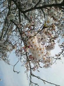 Brgの穴からミテミル?-桜