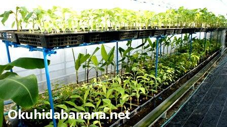 ★温泉を利用しての奥飛騨バナナ栽培★バナナ苗・種の販売専門店