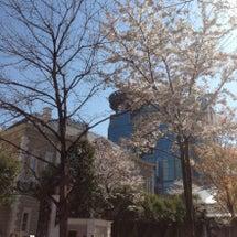 迷子かーらーの!桜!