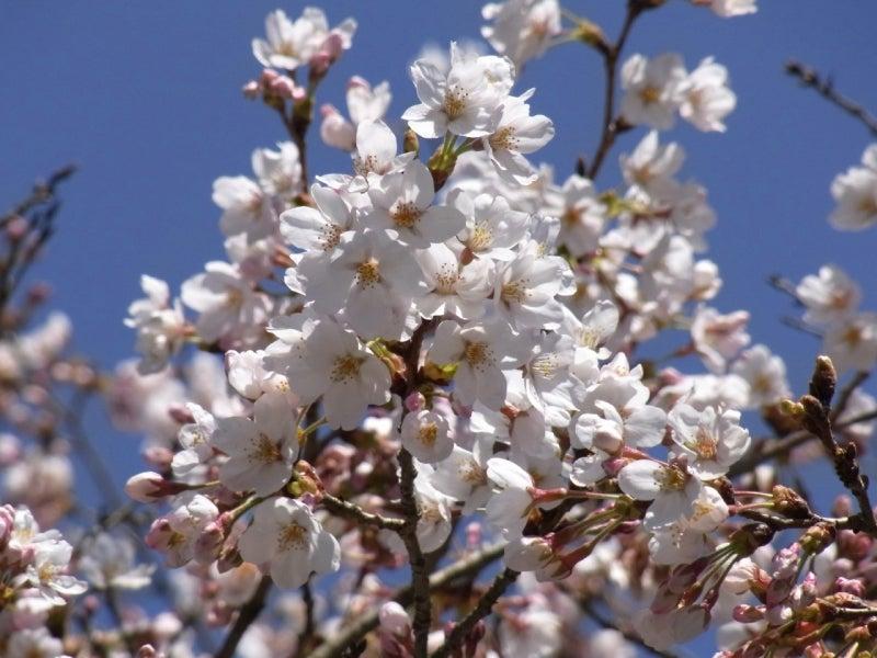お達者倶楽部管理人の独り言-阿蘇神社の桜