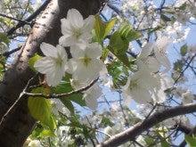 遥香の近況日記-桜2