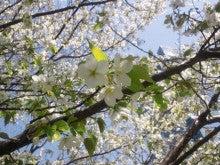 遥香の近況日記-桜1