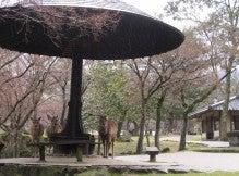.-0407奈良公園の朝は雨