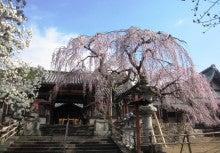 .-0407氷室神社シダレ桜