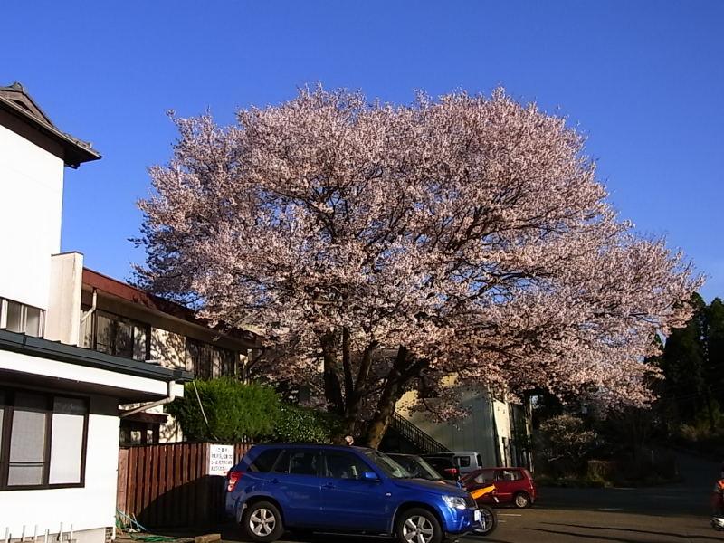 お達者倶楽部管理人の独り言-宿の桜
