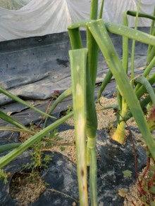 病害虫・生理障害情報 野菜栽培での病気 害虫 生理 …