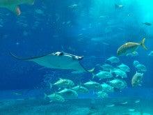 $オーストラリア(とか色んなところ)からこんにちは。-美ら海水族館のエイ
