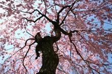 にさんとねさん-桜3