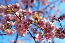 にさんとねさん-桜1
