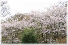 毎日はっぴぃ気分☆-日本庭園側からのさくら山