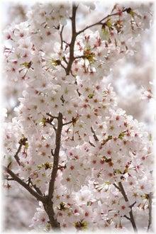 毎日はっぴぃ気分☆-天埋めつくす桜