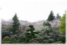 毎日はっぴぃ気分☆-日本庭園内からのさくら山