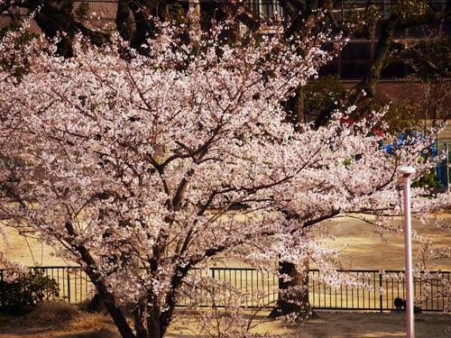 害虫・害獣から街を守るPCOの調査日記-満開の桜2012