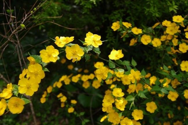 四国高知のうどん屋いろりや9640ブログ~黒潮町LOVEな毎日をお届け~-山吹の花