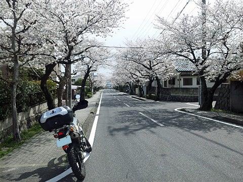 通勤道の桜