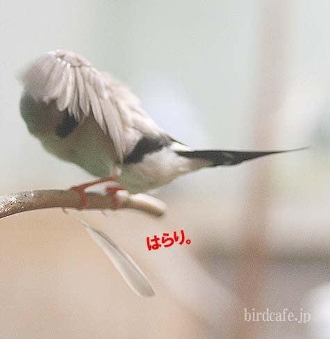 ようこそ!とりみカフェ!!~鳥カフェでの出来事や鳥写真~-シュバシキンセイの羽根がはらり。