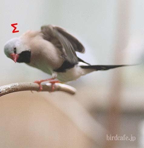 ようこそ!とりみカフェ!!~鳥カフェでの出来事や鳥写真~-ショックなシュバシキンセイチョウ
