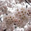 桜をふんわりピンク色…